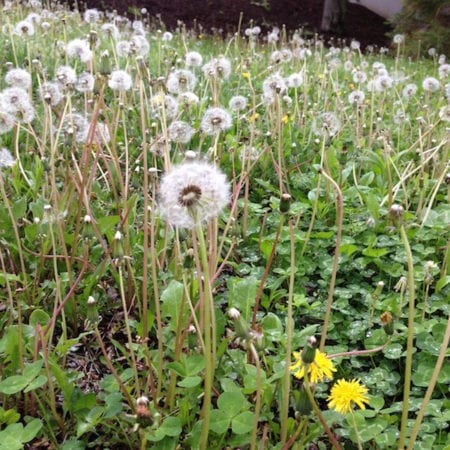 Dandelions in Fluff