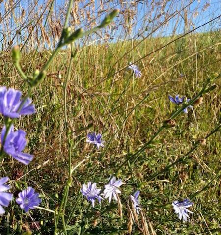 Cornflowers and grasses